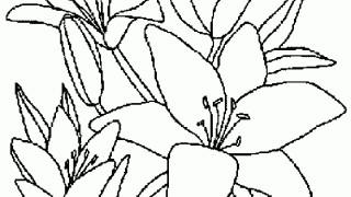 Lilia kwitnąca