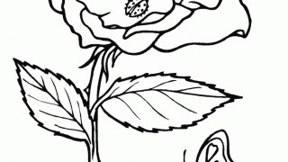 Róża z biedronką
